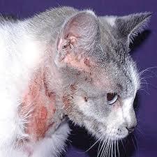 skin disease in cats