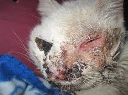 Skin Disease In Cats Causes And Natural Solutions