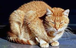 pain relief for cats