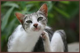 pruritus in cats