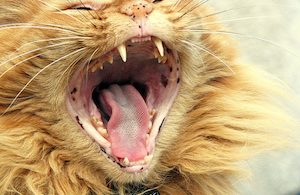 gingivitis in cats