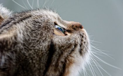 how to prevent struvite crystals in cats