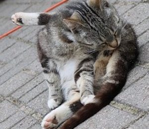 difficult urination in cats